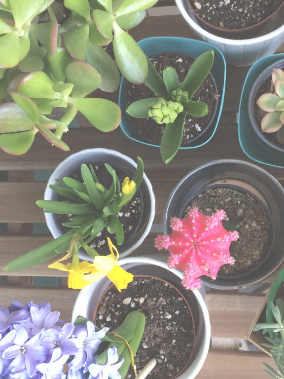 indoor plants, succulents, cactus, gardening, hyacinths, flowers
