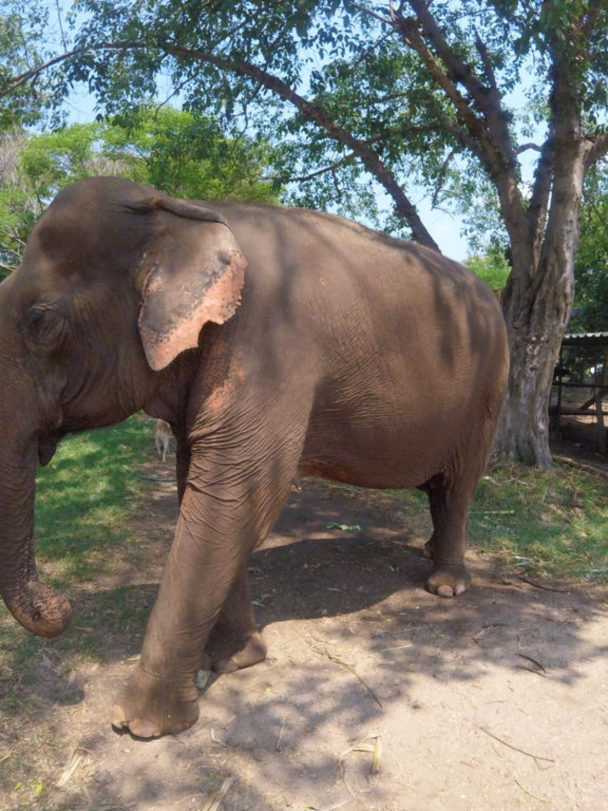 enp, elephant nature park chiang mai, playing with elephants in thailand, elephant abuse in thailand, animal abuse in thailand, riding elephants in thailand, petting tigers in thailand, animal treatment in Thailand