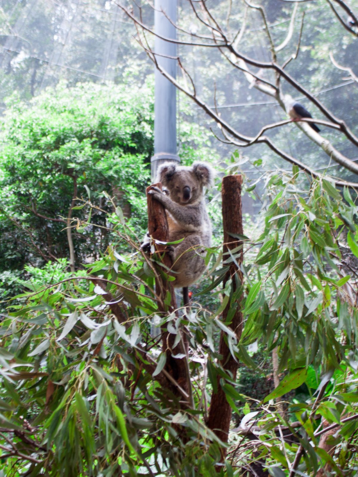 blackbutt reserve, australian wildlife, where to see koalas in Australia, where to see koalas near sydney, where to see kangaroos in australia, where to see kangaroos near Sydney, where to see wallabies in australia, where to see wallabies near Sydney, animals in australia