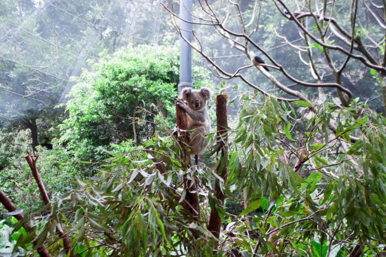 blackbutt reserve, australian wildlife, where to see koalas in Australia, where to see koalas near sydney, where to see kangaroos in australia, where to see kangaroos near Sydney, where to see wallabies in australia, where to see wallabies near Sydney, animals in australia