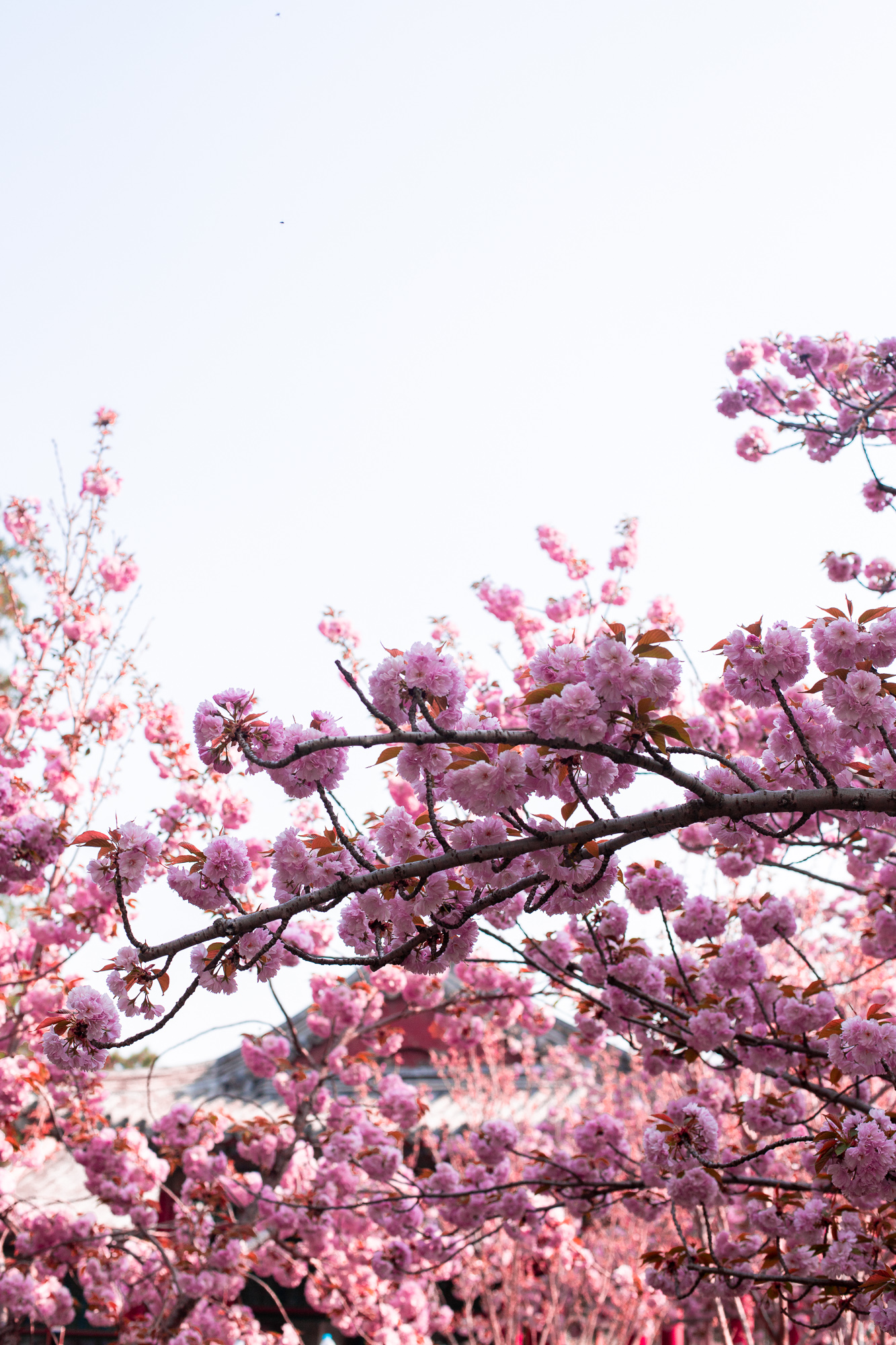cherry blossoms in china cherry blossoms in beijing summer palace