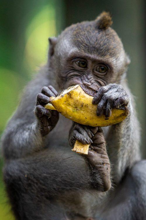 ubud monkey forest, monkeys in bali, safe monkeys in bali, nice monkeys in bali, bali travel guide