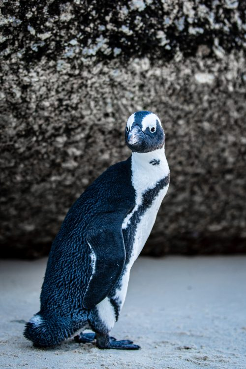 boulders beach cape town, penguin beach south africa, boulders beach penguin colony, where to see penguins on a beach in cape town south africa